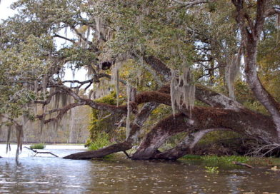 Eerie Sounds Echo From the Bayou Swamp