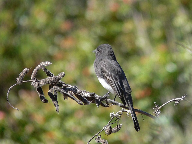 Black Phoebe - The Beauty of a Fleeting Moment