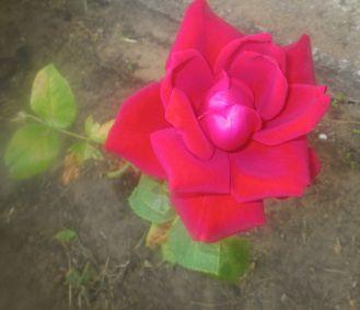 roses-003