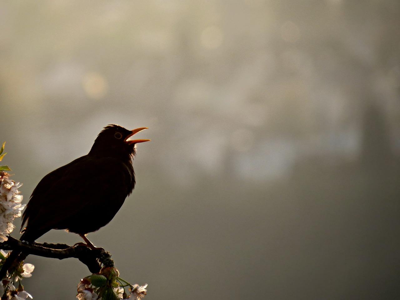My Blackbird Sings For Me