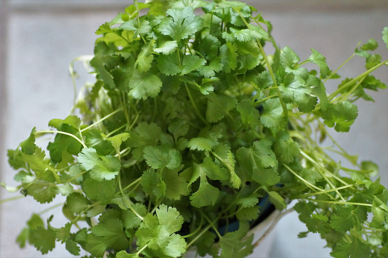 With these cilantro seedlings...