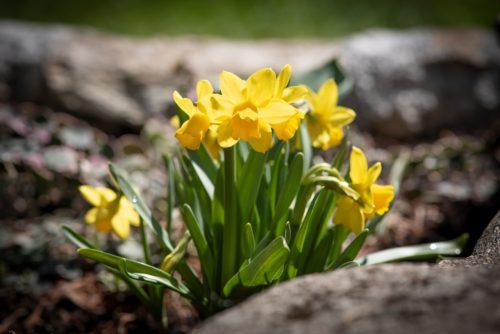 daffodil remembrance
