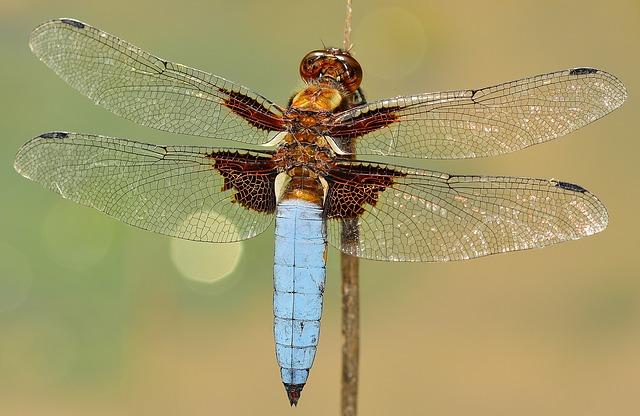 Dragonfly, Diaphanous wings