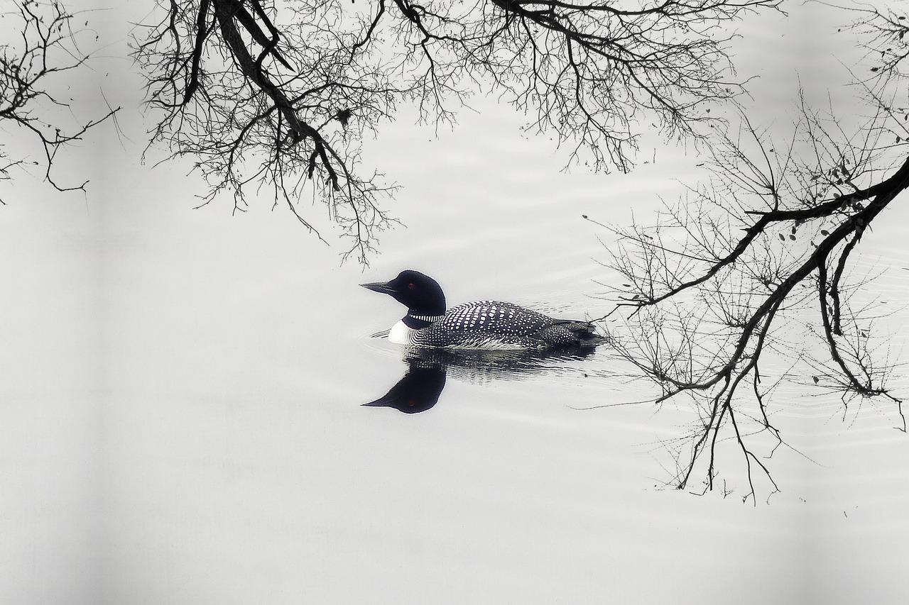 Where the birds swim