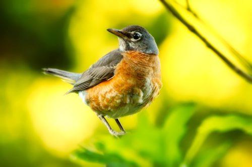 sweetly sings robin
