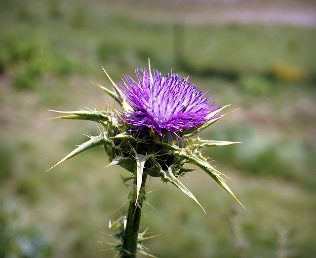 On Thorn and Thistle