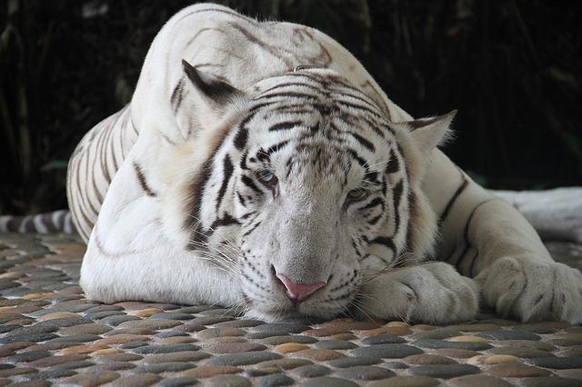 A Tiger in a Box…a Sad Surrender