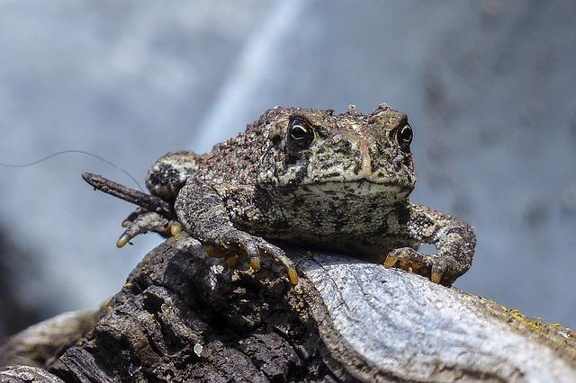 Horny Toad Beware