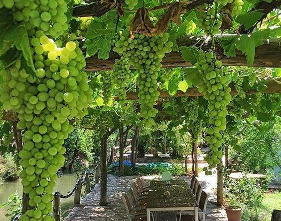 Grandfather's vineyard