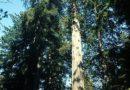 Redwood Trees – Journey Among the Giants