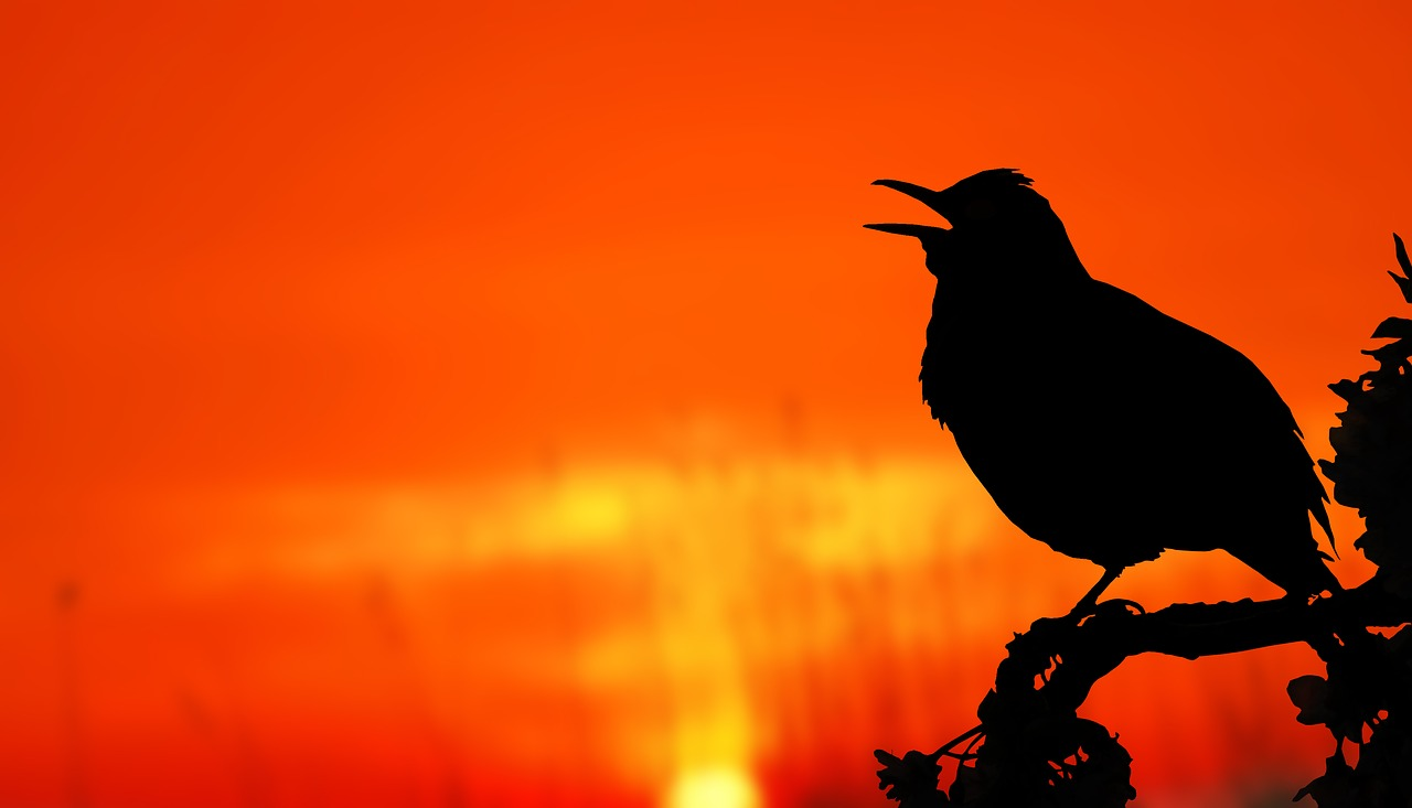 Blackbird's Morning Song