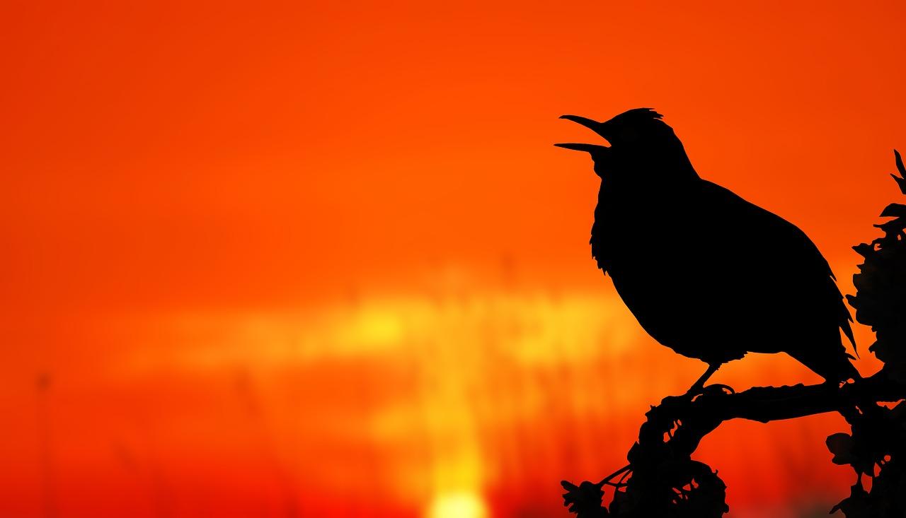 Blackbird's Morning Song