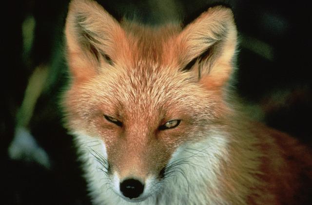 hen house fox
